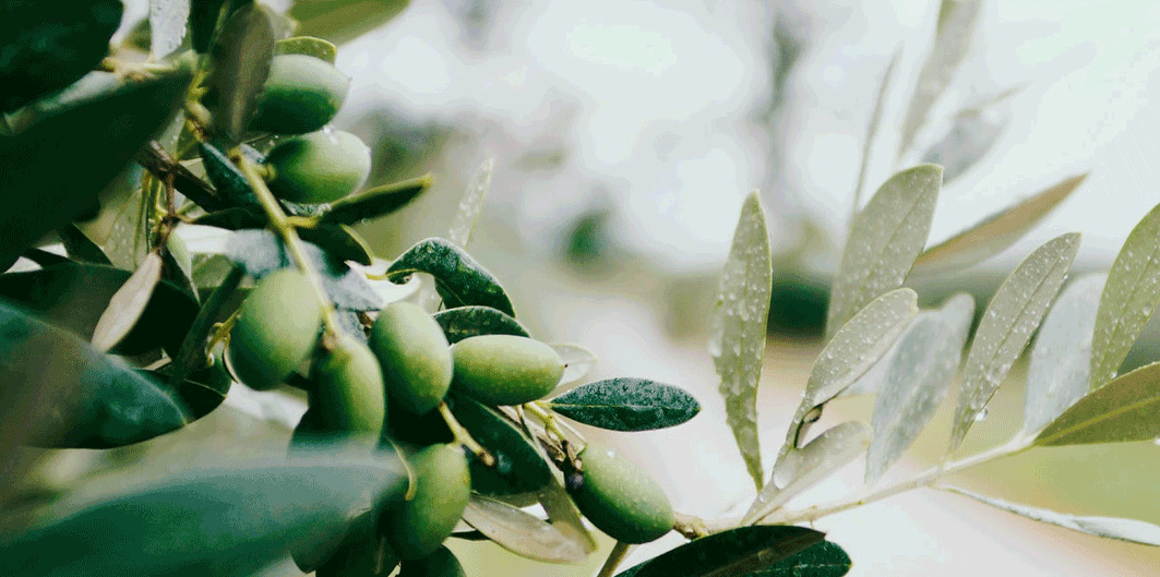 The olive oil and the heart health